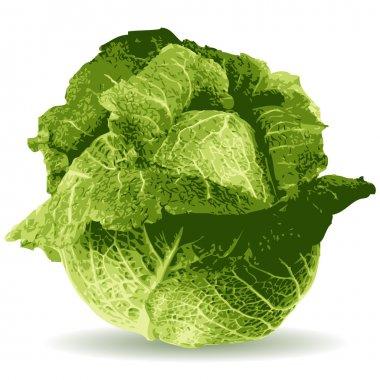 Cabbage vector illustration