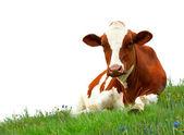 Fotografie kráva na trávě