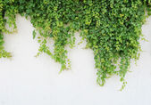 Fotografia foglie di edera, isolati su sfondo bianco