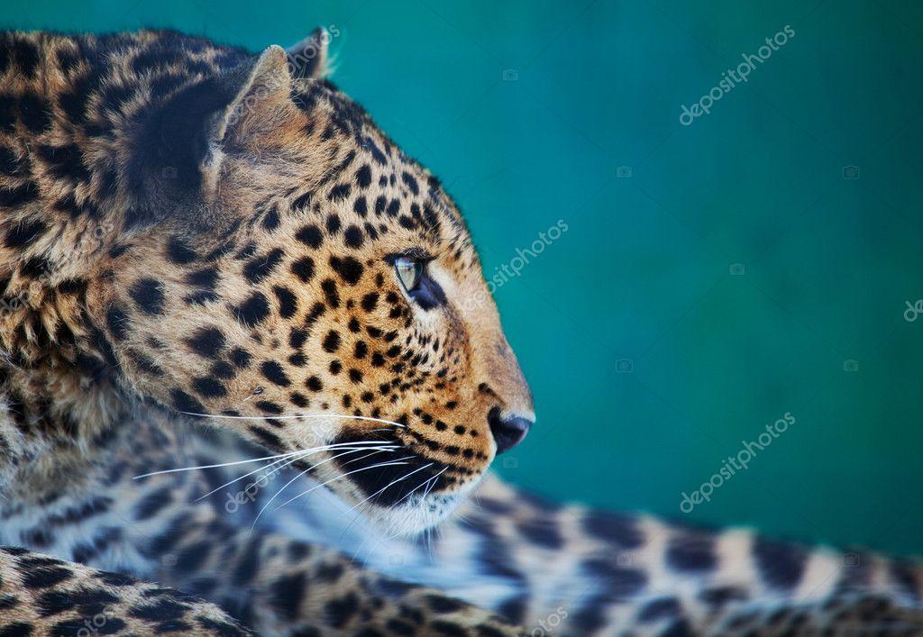 Leopard closeup stock vector