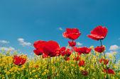 Fotografie Poppy flowers