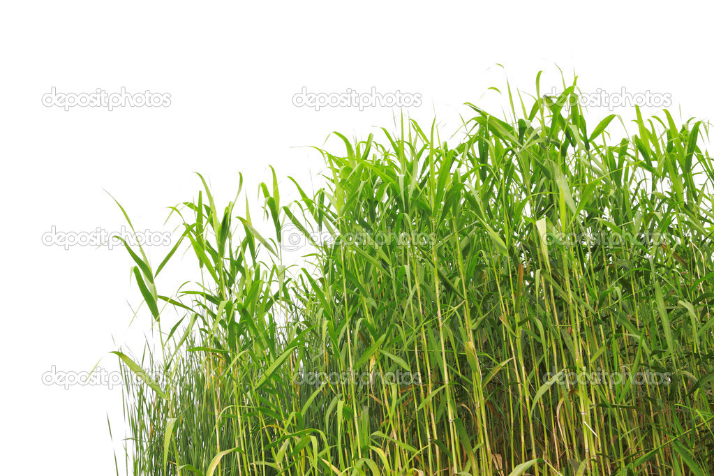 Close-up view of reed along the water's edge