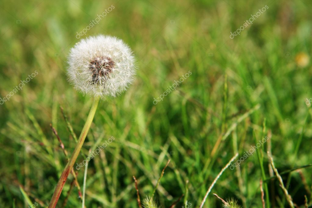Dandelion and weeds