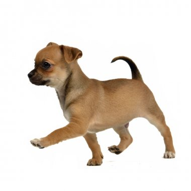 Running chihuahua puppy