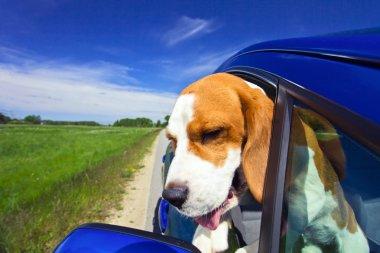 Beagle in the blue car