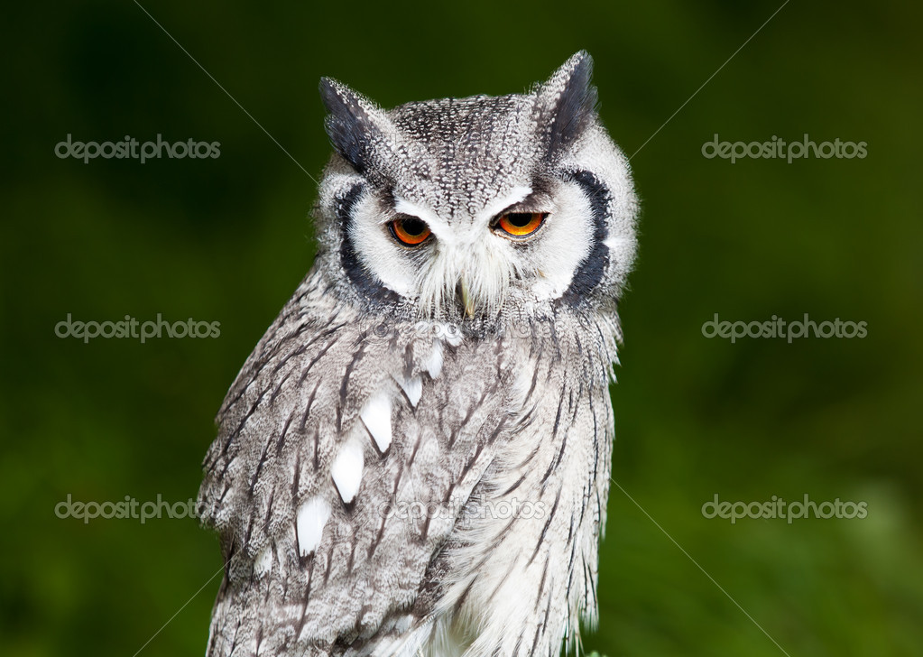 Grey owl perched with green blurred background
