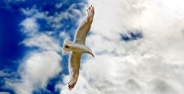 Seagul gliding in flight close up