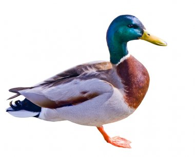 Mallard duck on white