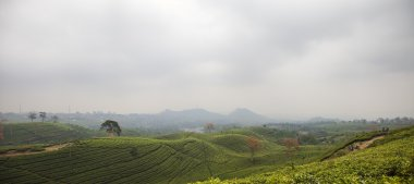 Tea plantation landscape in Indonesia