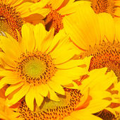 Beautiful yellow sunflowers background
