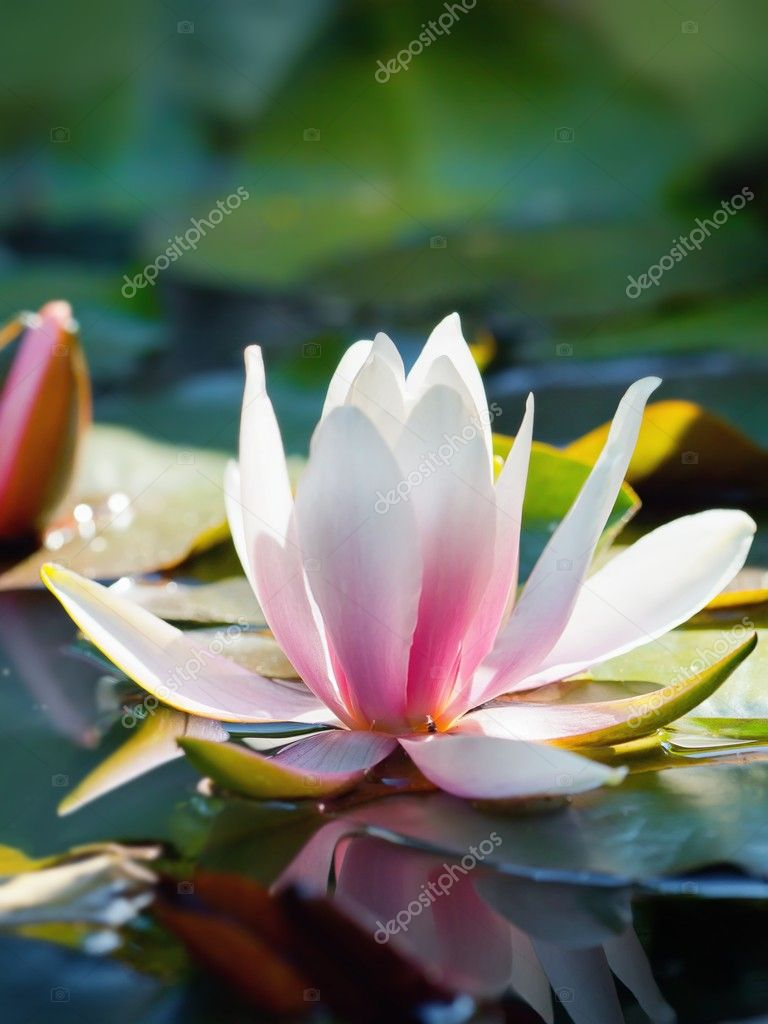Water lily on water