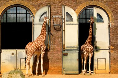 Giraffes at the London Zoo
