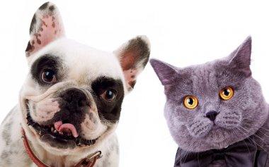 British short hair grey cat and french bull dog puppy dog