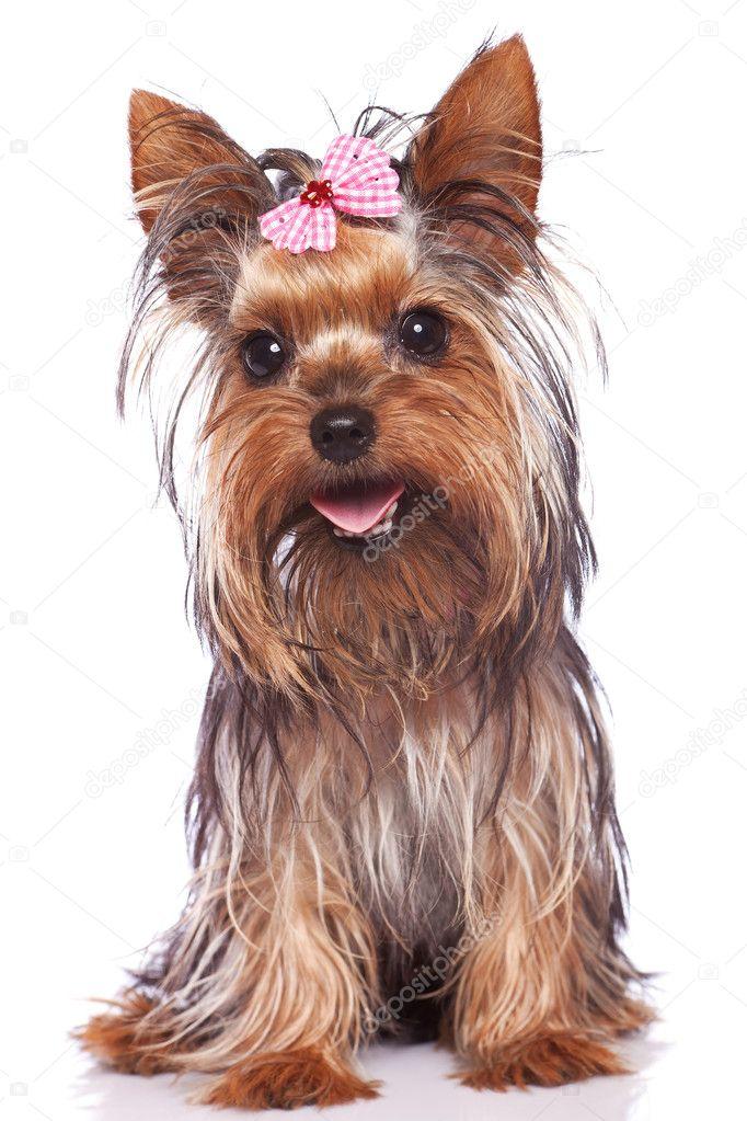 Yorkshire Terrier Kolyok Kutya Ul Es Lihegve Stock Foto