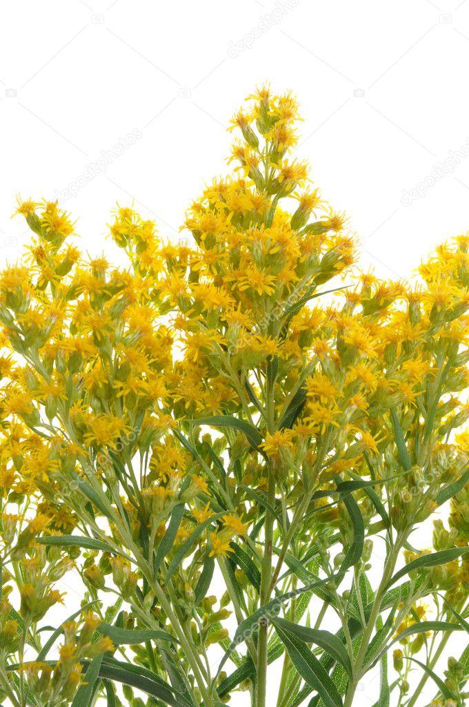 La mauvaise herbe de fleurs jaunes photographie - Mauvaise herbe fleur jaune ...