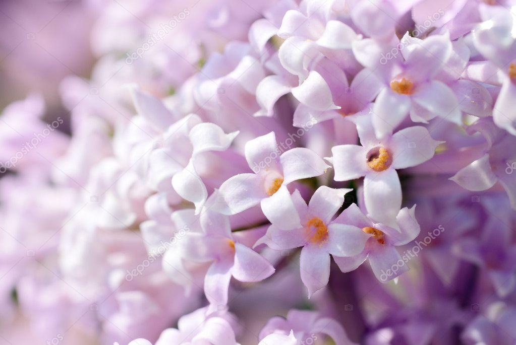weiß lila blumen — Stockfoto © Genika #11213489