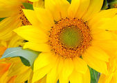 Background of beautiful yellow sunflower