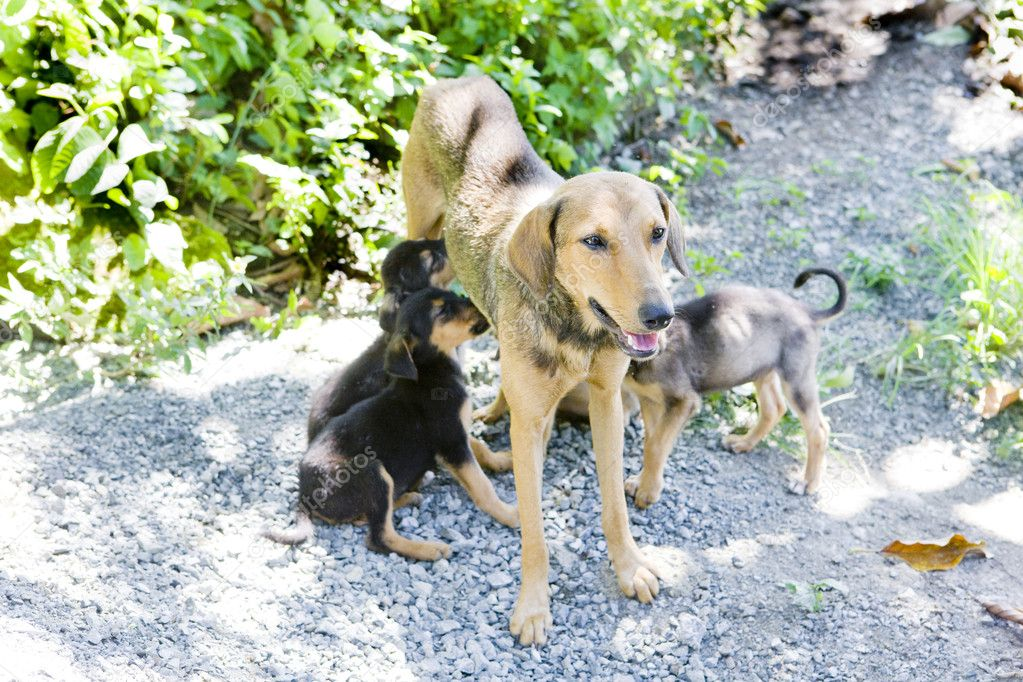 Female dog with puppies, Tobago