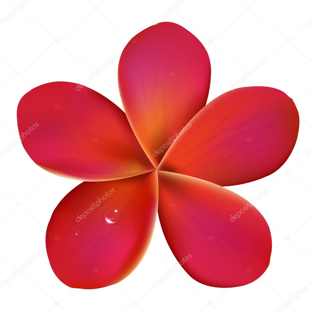 Pink Frangipani With Water Drops
