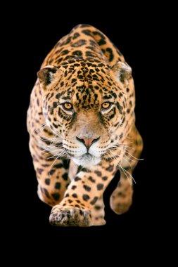 Jaguar Cat Isolated On Black
