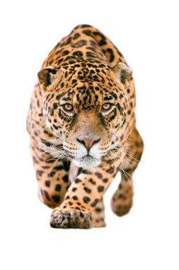 Wild Jaguar Cat Isolated On White