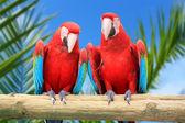 Papoušek papoušci