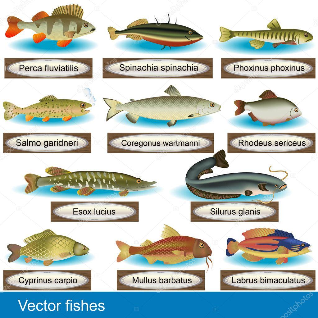 Vector de peces vector de stock stiven 11596512 for Tipos de jaulas para peces