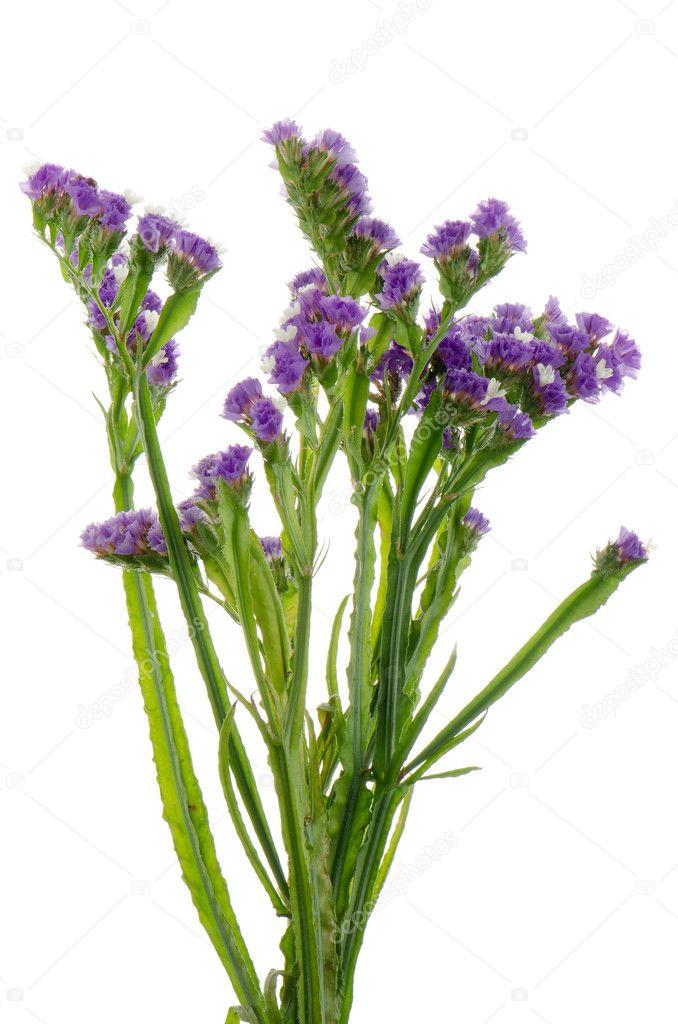 Purple statice flowers stock photo homydesign 12053633 purple statice flowers isolated on the white photo by homydesign mightylinksfo Images