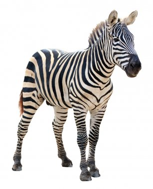 Male zebra isolated