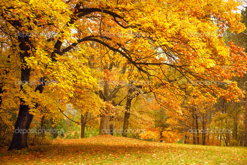 Autumn / Gold Trees in a beautiful park