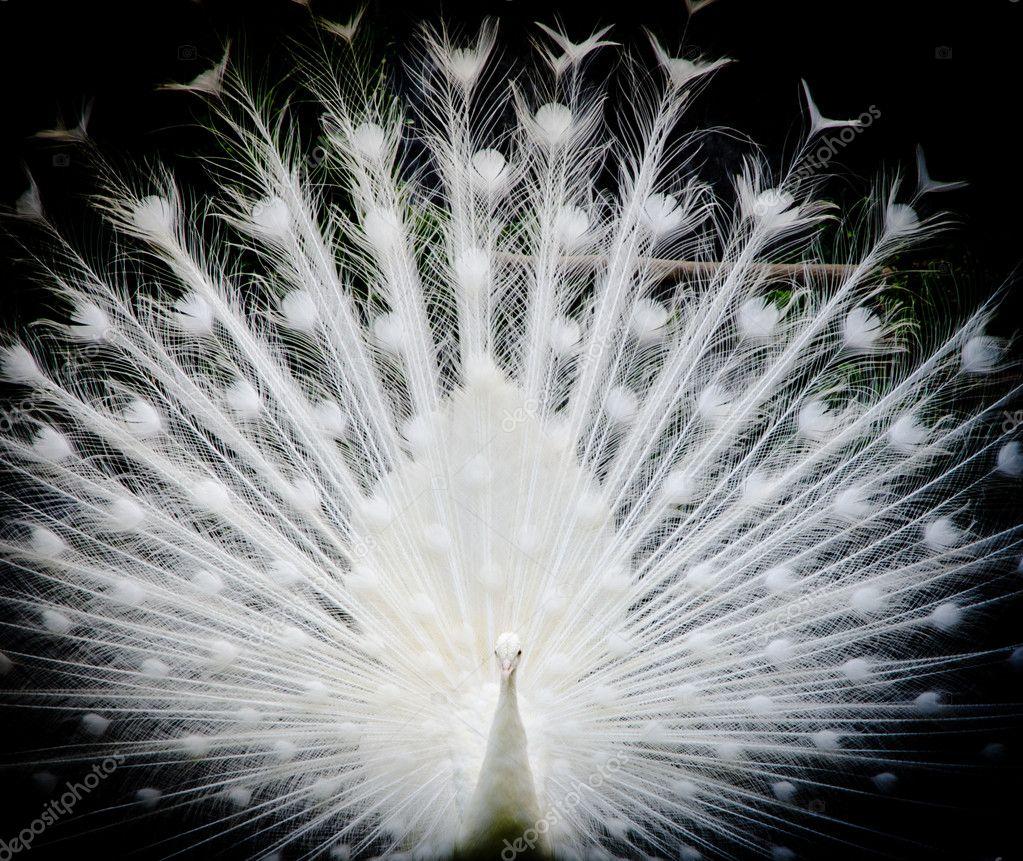 pavone bianco — Foto Stock © panxunbin #11754069