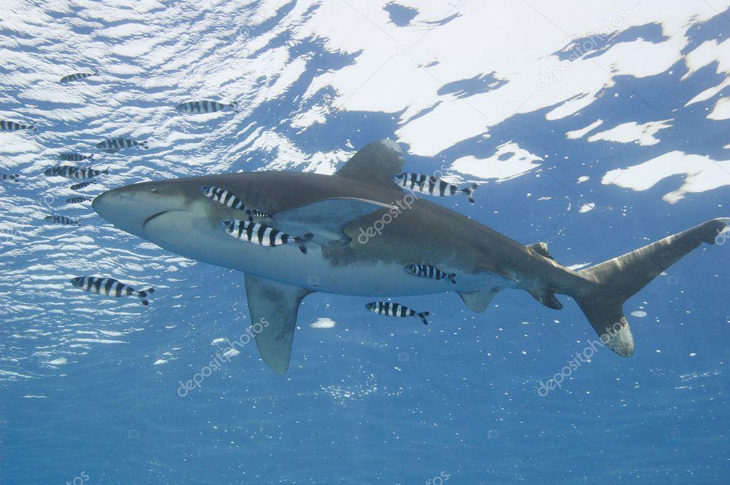 Oceanic white-tip shark in the sea