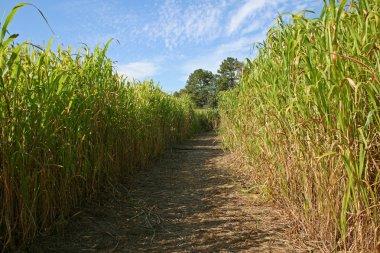 Maze in a corn field