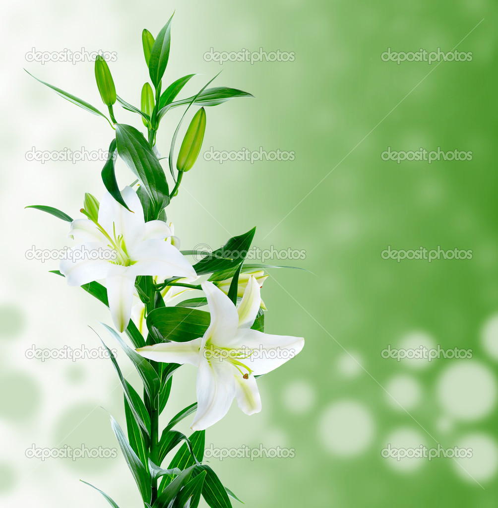 Beautiful white lily flowers stock photo lebval 10959190 beautiful white lily flowers stock photo izmirmasajfo Gallery