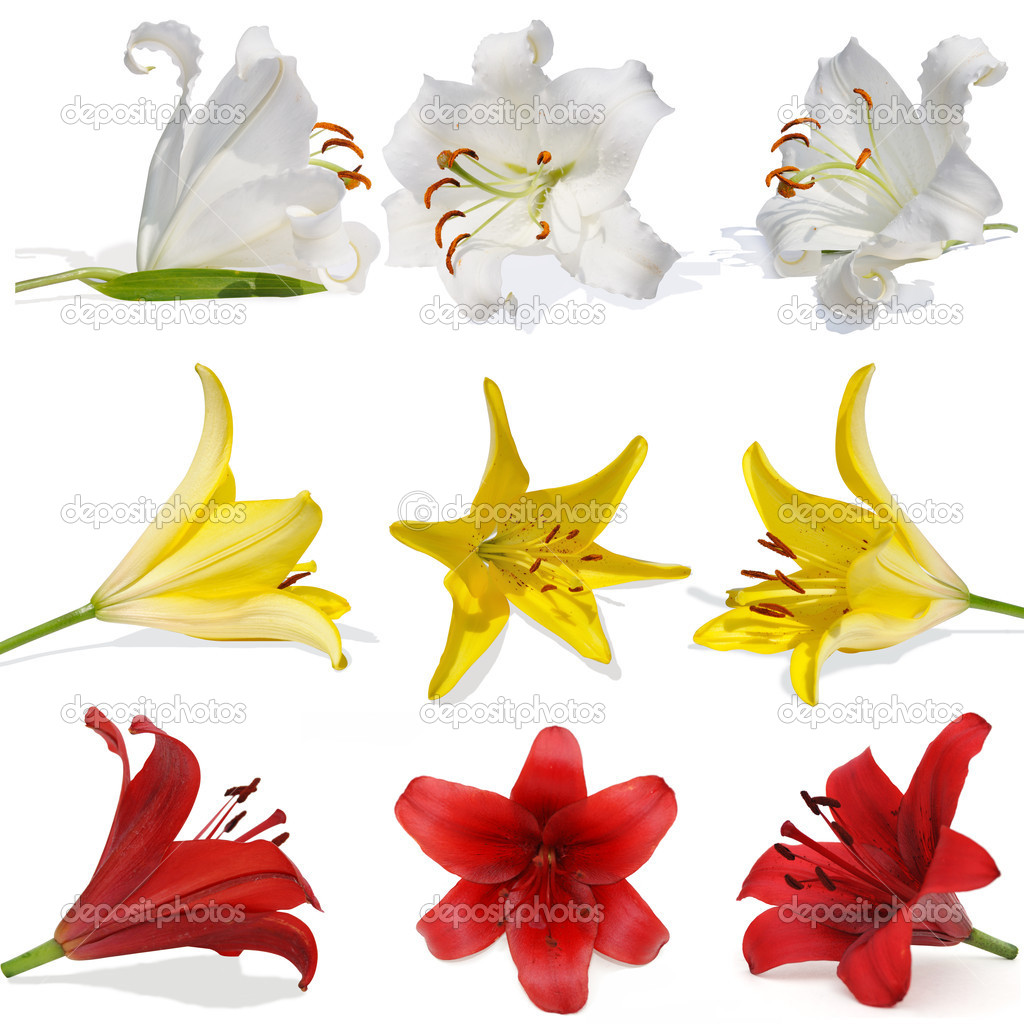 Set lily on white background isolated