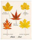 foglie di acero autunno colorato