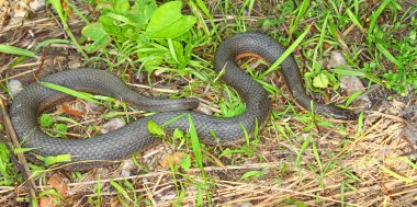 Queen Snake (Regina septemvittata)
