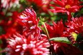 Red dahlia květiny v ranním světle zelené zahradě