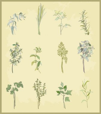 Collection of fresh herbs. Illustration spicy herbs.