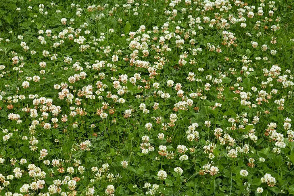 Many white clover flowers