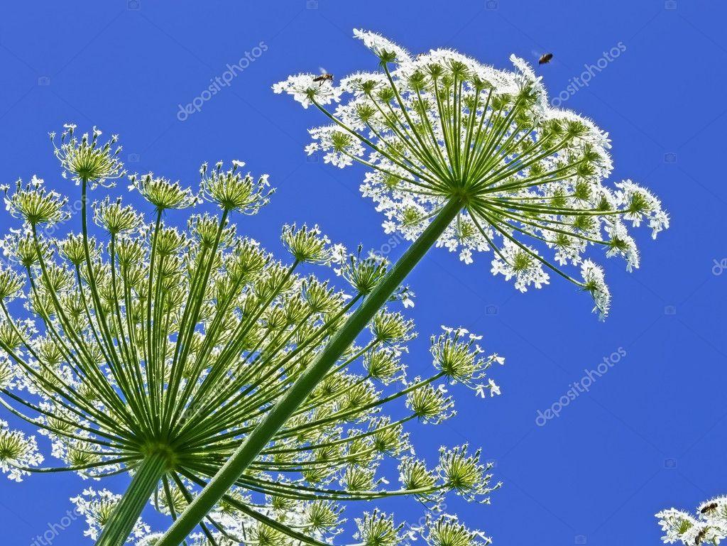 Giant Hogweed, in Latin: heracleum sphondylium