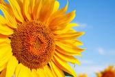 Fotografie Slunečnice hlava je úzká proti modré obloze