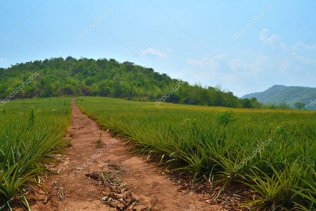 Pineapple Farm field