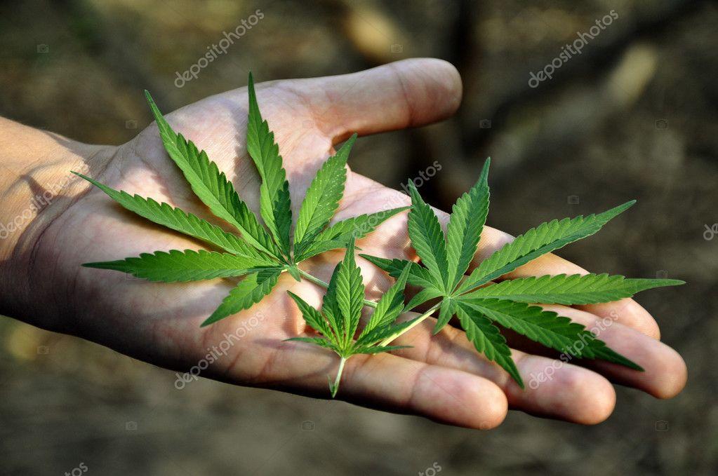 Веерным листом конопля дискриминация марихуаны