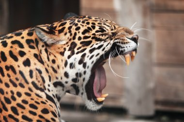Roaring Jaguar. Portrait of wild animal