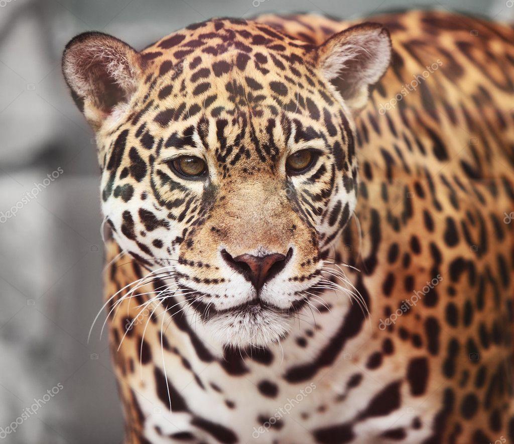 Jaguar - Panthera onca. Portrait of wild animal