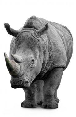 Rhino isolated on white