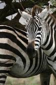 Zebra - Afrika safari, Tanzanie, serengeti