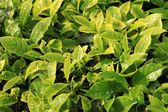 Fotografia foglie di tè fresca - Malesia