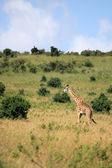 Fotografia giraffa - kenya